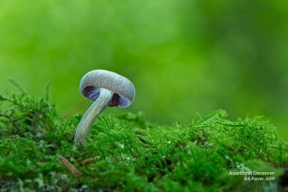 "2nd Print Open: ""Amethyst Deceiver"", Bill Power AIPF, Mallow Camera Club"