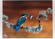 """Honourable Mention Print Open: """"Kingfisher"""", Charlie Galloway, Waterford Camera Club (*note: this image is a photo of the print and does not reflect the quality of the actual image!)"""