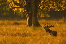 """3rd Projected Open: """"Irish Deer Stag in Morning Light"""", Michael Murphy, Cork Camera Group"""