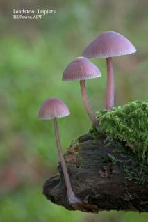 "Honourable Mention Projected Open: ""Toadstool Triplets"", Bill Power AIPF, Mallow Camera Club"